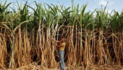 India's sugar output to fall on lower monsoon rains