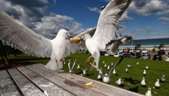 Gulls pass infectious bacteria to humans: scientists