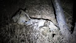 222 lions died in Gir in 2 years: foresters not alarmed