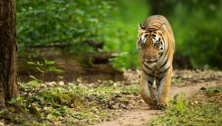 Tigress, two cubs found dead in Maharashtra