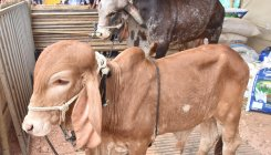 Centre, states to respond on protecting milch cattle