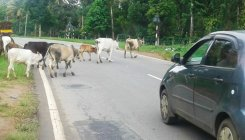 Stray cattle menace on the rise in Suntikoppa