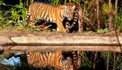 'Growth in tigers' no. due to efforts by govt, people'