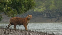 None to help, Bengal Tiger to go extinct in Bengal
