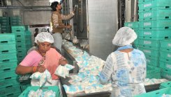 Farmers resort to dairy farming, milk production soars