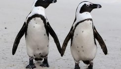 Broody male penguin couple adopt egg left at Berlin Zoo