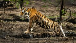 India's tigers need bigger homes