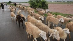 UP: Woman sells 71 Sheeps to hubby, gets back lover