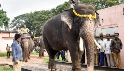 Month-and-half nutrition pampering for Dasara jumbos
