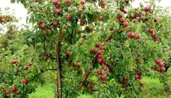 JK: Govt to procure apples from farmers through DBT
