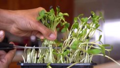 Like fresh herbs? Try microgreen gardening