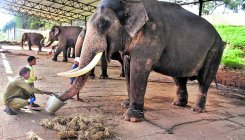 Dasara jumbos get food booster to ready them for D-day
