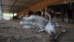 Man held on cow slaughter charge in UP's Muzaffarnagar