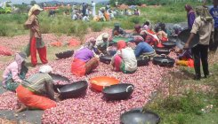 Activities gain momentum in onion farms