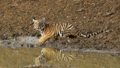 Forest dept draws flak over 'shooting down' tiger
