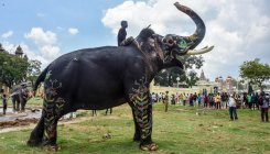 Dasara elephants in relaxed mood