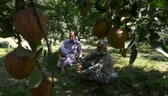 Transporting apples get costlier after Shopian attack