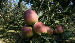 JK procures 1.34 lakh apple boxes from fruit growers