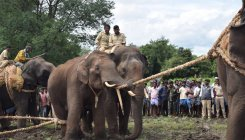 Dasara jumbos help catch stray elephant from TN