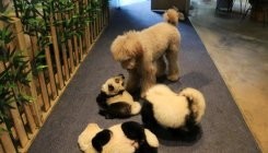 Would you like to transform your dog into a panda?