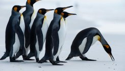 Emperor penguins at edge of extinction: Study
