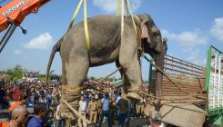 Rogue 'Laden' elephant gets a job, renamed 'Krishna'