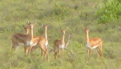 Forest Dept to take up study on blackbucks at Kaval
