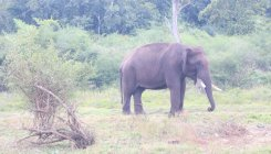 Taming of wild elephants at Dubare camp