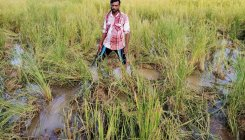 Herd of elephants damages paddy