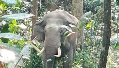 Motorists fear lone tusker on Charmadi Ghat