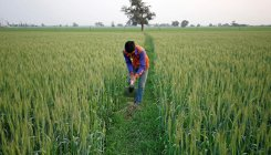 Good monsoon could lift 2020 wheat output to record
