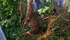Leopard dies after coming in contact with live wire