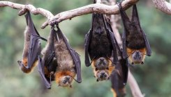 Aus bushfires:Thousands of baby flying foxes starve
