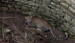 Open, abandoned wells pose threat to leopards in K'taka