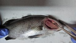 RSIV, a new viral disease detected in Asian Sea Bass