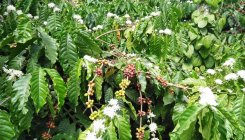 Untimely coffee blossoms put growers in a fix