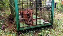 Trapped leopard released into Kollur sanctuary