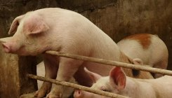 In Germany, piglets go to court