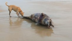 Odisha: Dolphin carcasses washed ashore at Pentha beach