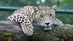 Three-year-old female leopard found dead in HD Kote