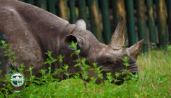 'World's oldest rhino' dies in Tanzania at 57