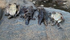 Platypus under threat from climate change: Study