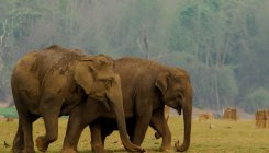 Wild jumbos enter coffee plantation, creates panic
