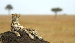 SC allows introduction of African Cheetah to India