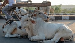 Rajasthan: Man attacked while transporting cattle