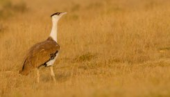 Great Indian Bustard classified as 'endangered species'