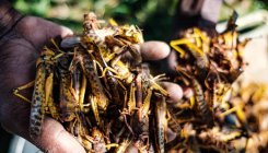 China launches $200 mn fund to combat fall locusts