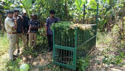 Cages placed to capture tiger