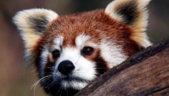 Did you know red panda is actually 2 separate species?