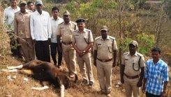 2 bisons knocked by train near Khanapur